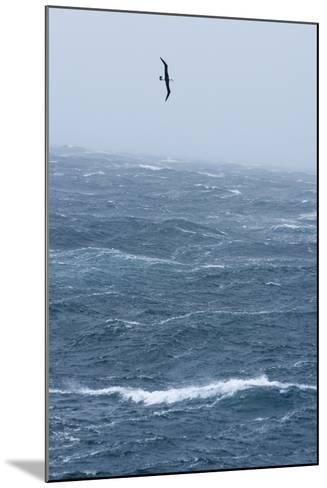 Black-Browed Albatross Flying in Gale Force Winds over a Stormy Sea-Ralph Lee Hopkins-Mounted Photographic Print