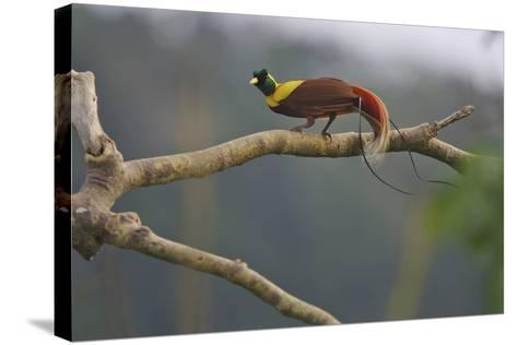 A Red Bird of Paradise Perches on a Tree in a Mountain Forest-Tim Laman-Stretched Canvas Print