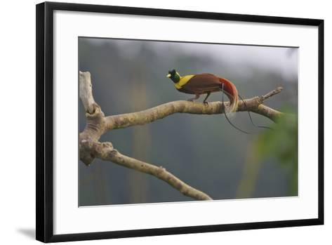 A Red Bird of Paradise Perches on a Tree in a Mountain Forest-Tim Laman-Framed Art Print