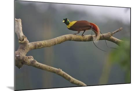 A Red Bird of Paradise Perches on a Tree in a Mountain Forest-Tim Laman-Mounted Photographic Print