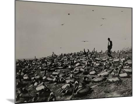 A Man Walks Amongst a Large Group of Pelicans in the Lobos De Afuera-Robert E. Coker-Mounted Photographic Print