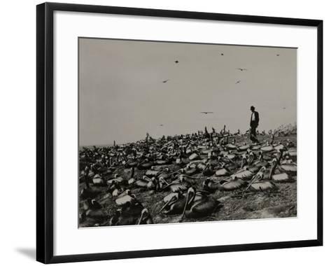 A Man Walks Amongst a Large Group of Pelicans in the Lobos De Afuera-Robert E. Coker-Framed Art Print