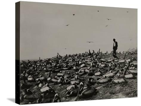 A Man Walks Amongst a Large Group of Pelicans in the Lobos De Afuera-Robert E. Coker-Stretched Canvas Print