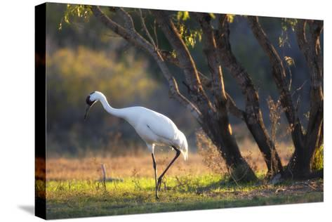 A Whooping Crane, Grus Americana, Foraging in a Field-Robbie George-Stretched Canvas Print