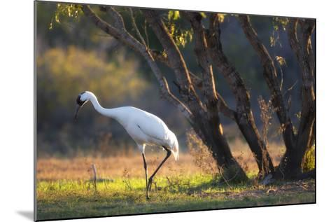 A Whooping Crane, Grus Americana, Foraging in a Field-Robbie George-Mounted Photographic Print
