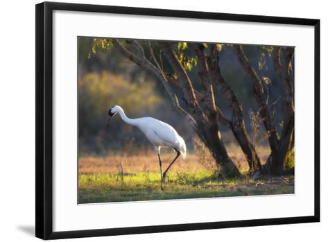 A Whooping Crane, Grus Americana, Foraging in a Field-Robbie George-Framed Art Print