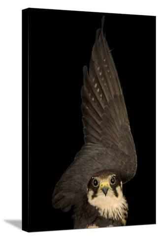 An Eurasian Hobby Falcon, Falco Subbuteo, at the Budapest Zoo-Joel Sartore-Stretched Canvas Print