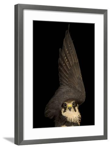 An Eurasian Hobby Falcon, Falco Subbuteo, at the Budapest Zoo-Joel Sartore-Framed Art Print