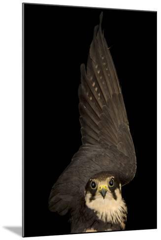 An Eurasian Hobby Falcon, Falco Subbuteo, at the Budapest Zoo-Joel Sartore-Mounted Photographic Print