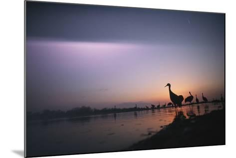Sandhill Cranes Roost on the Platte River at Twilight-Joel Sartore-Mounted Photographic Print