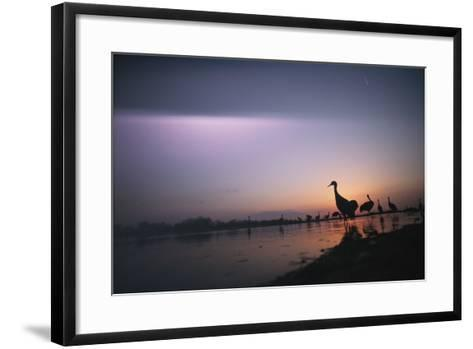 Sandhill Cranes Roost on the Platte River at Twilight-Joel Sartore-Framed Art Print