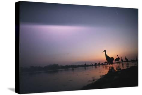 Sandhill Cranes Roost on the Platte River at Twilight-Joel Sartore-Stretched Canvas Print
