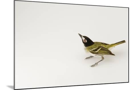 A Black-Capped Vireo, Vireo Atricapillus-Joel Sartore-Mounted Photographic Print