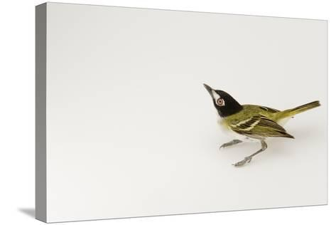 A Black-Capped Vireo, Vireo Atricapillus-Joel Sartore-Stretched Canvas Print