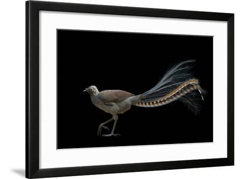 A Superb Lyrebird, Menura Novaehollandiae, at Healesville Sanctuary-Joel Sartore-Framed Art Print