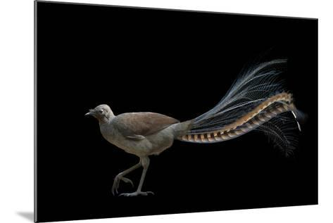 A Superb Lyrebird, Menura Novaehollandiae, at Healesville Sanctuary-Joel Sartore-Mounted Photographic Print