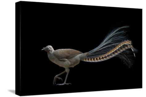 A Superb Lyrebird, Menura Novaehollandiae, at Healesville Sanctuary-Joel Sartore-Stretched Canvas Print