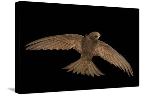 A Common Swift, Apus Apus, from the Budapest Zoo-Joel Sartore-Stretched Canvas Print