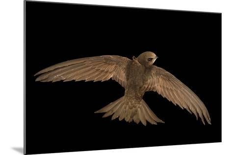 A Common Swift, Apus Apus, from the Budapest Zoo-Joel Sartore-Mounted Photographic Print