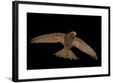 A Common Swift, Apus Apus, from the Budapest Zoo-Joel Sartore-Framed Art Print