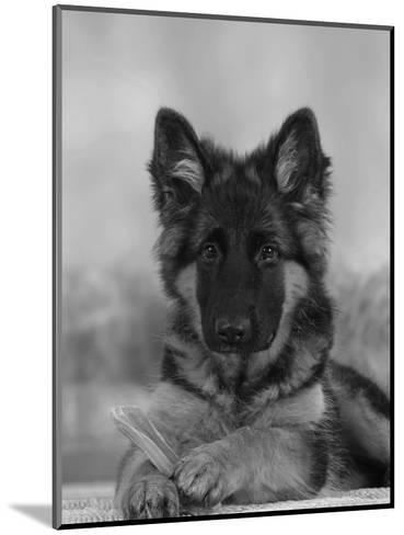 Domestic Dog, German Shepherd Alsatian Juvenile. 5 Months Old, with Rawhide Bone-Petra Wegner-Mounted Photographic Print