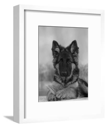 Domestic Dog, German Shepherd Alsatian Juvenile. 5 Months Old, with Rawhide Bone-Petra Wegner-Framed Art Print