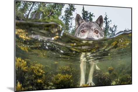 British Columbia, Canada. A coastal wolf investigate a photographer's camera.-Ian McAllister-Mounted Photographic Print