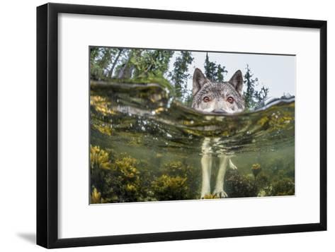 British Columbia, Canada. A coastal wolf investigate a photographer's camera.-Ian McAllister-Framed Art Print