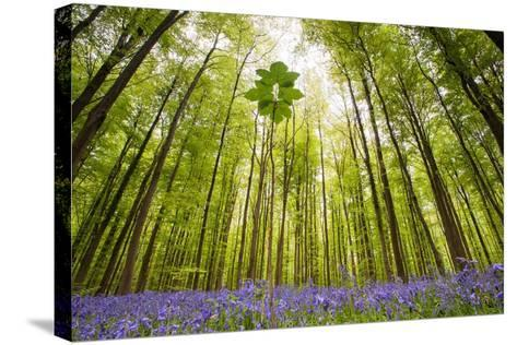 Hallerbos-Wilco Dragt-Stretched Canvas Print