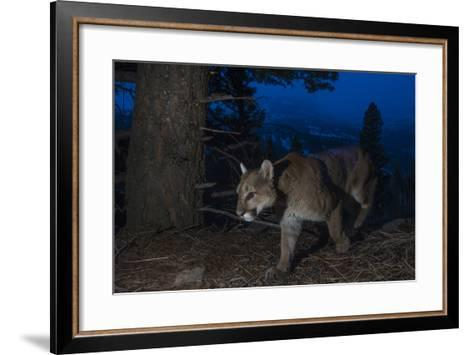 A Remote Camera Captures a Mountain Lion in Wyoming's Greater Yellowstone Ecosystem-Drew Rush-Framed Art Print