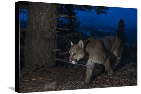 A Remote Camera Captures a Mountain Lion in Wyoming's Greater Yellowstone Ecosystem-Drew Rush-Stretched Canvas Print