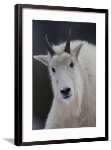 Mountain Goats are an Invasive Species in the Greater Yellowstone Ecosystem-Drew Rush-Framed Art Print