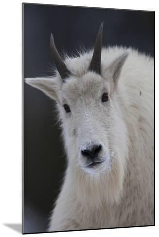 Mountain Goats are an Invasive Species in the Greater Yellowstone Ecosystem-Drew Rush-Mounted Photographic Print
