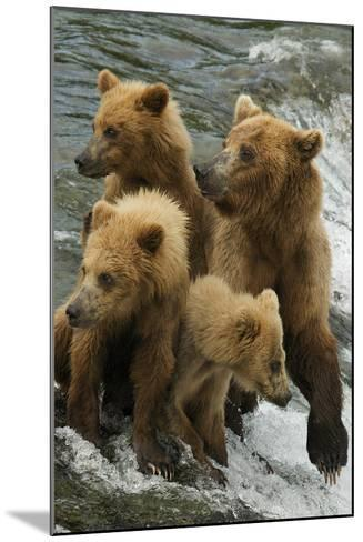 Brown Bear Family Bothered by Another Bear Approaching-Barrett Hedges-Mounted Photographic Print