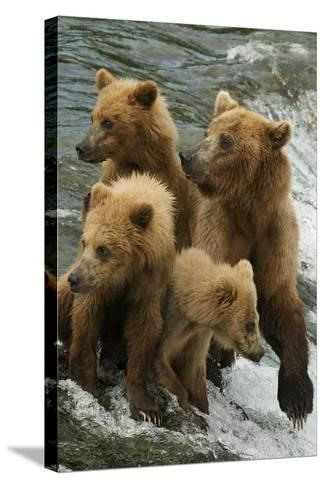 Brown Bear Family Bothered by Another Bear Approaching-Barrett Hedges-Stretched Canvas Print