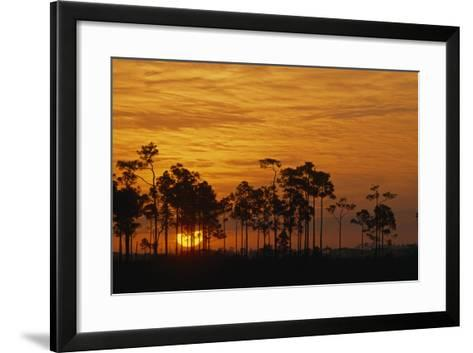 Sunrise Silhouettes Trees in a Pineland Area of the Everglades-Phil Schermeister-Framed Art Print