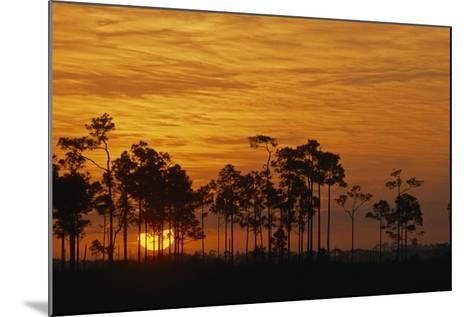 Sunrise Silhouettes Trees in a Pineland Area of the Everglades-Phil Schermeister-Mounted Photographic Print