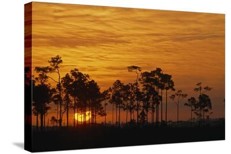 Sunrise Silhouettes Trees in a Pineland Area of the Everglades-Phil Schermeister-Stretched Canvas Print