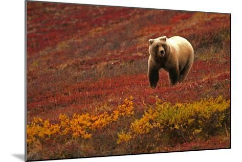 An Alaskan Brown Bear Standing on a Tundra with Fall Foliage-Roy Toft-Mounted Photographic Print