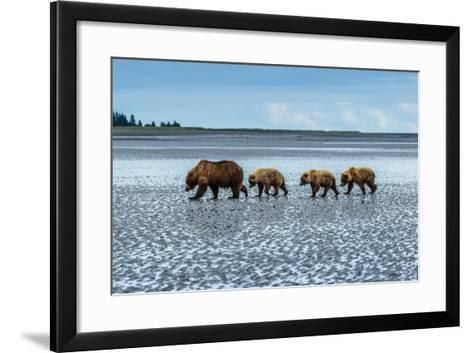 Coastal Brown Bears Walking across a Tidal Flat in Lake Clark National Park, Alaska-Ralph Lee Hopkins-Framed Art Print
