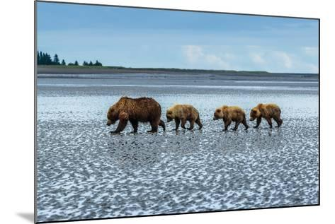 Coastal Brown Bears Walking across a Tidal Flat in Lake Clark National Park, Alaska-Ralph Lee Hopkins-Mounted Photographic Print