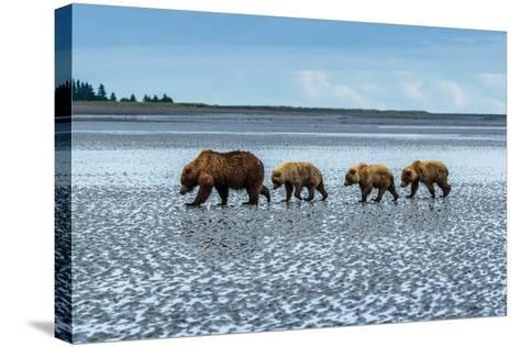 Coastal Brown Bears Walking across a Tidal Flat in Lake Clark National Park, Alaska-Ralph Lee Hopkins-Stretched Canvas Print