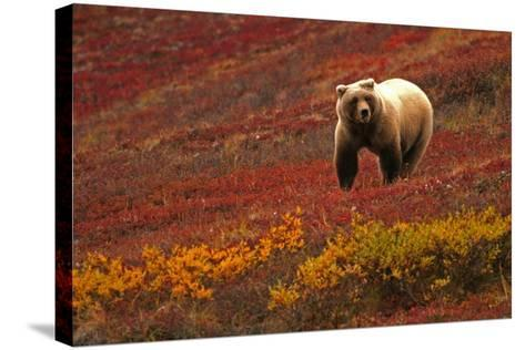 An Alaskan Brown Bear Standing on a Tundra with Fall Foliage-Roy Toft-Stretched Canvas Print
