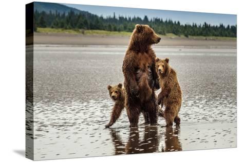 Coastal Brown Bear Family at Sliver Salmon Creek in Lake Clark National Park, Alaska-Ralph Lee Hopkins-Stretched Canvas Print