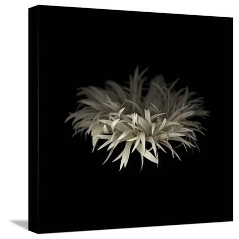 Darkness G5: Gerbera Daisy-Doris Mitsch-Stretched Canvas Print