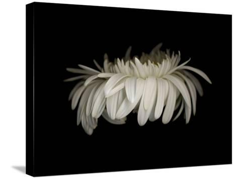 Daisy 10: White Gerbera Daisy-Doris Mitsch-Stretched Canvas Print