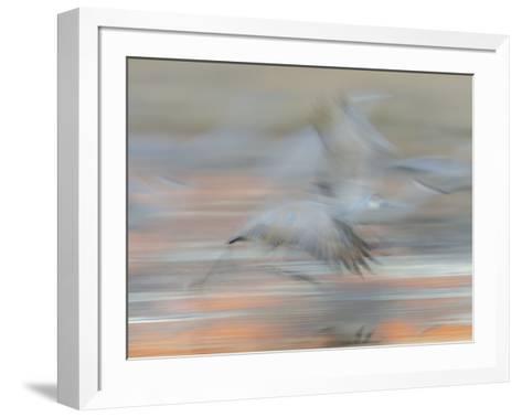 Sandhill Cranes in motion Bosque del Apache NWR, New Mexico-Maresa Pryor-Framed Art Print