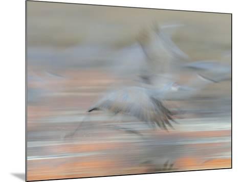 Sandhill Cranes in motion Bosque del Apache NWR, New Mexico-Maresa Pryor-Mounted Photographic Print