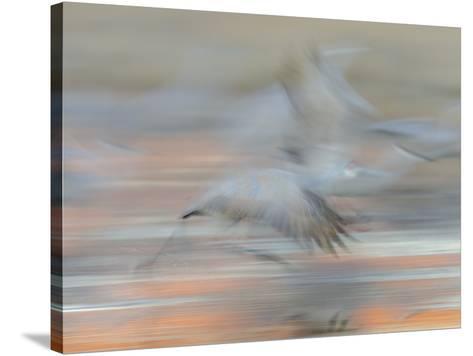 Sandhill Cranes in motion Bosque del Apache NWR, New Mexico-Maresa Pryor-Stretched Canvas Print