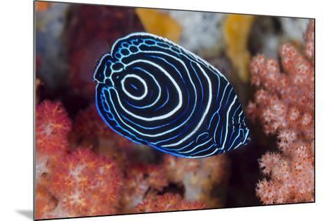 Indonesia, West Papua, Raja Ampat. Close-up of emperor angelfish.-Jaynes Gallery-Mounted Photographic Print